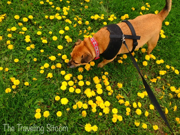 dandelions dog spring in maine