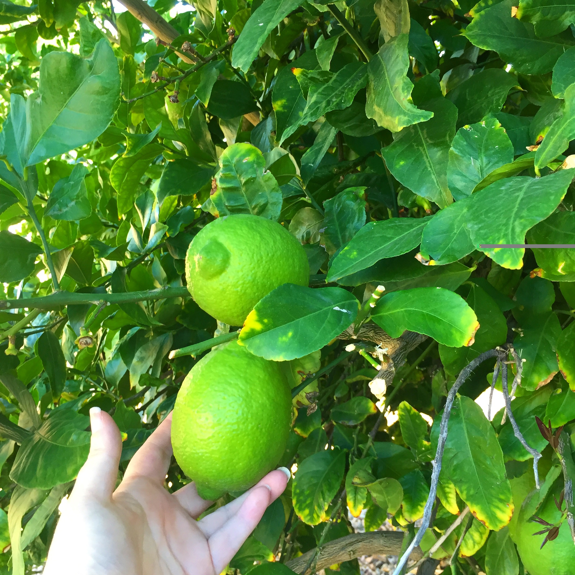 The lime tree in my backyard