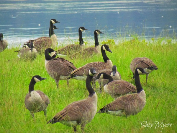 flock of geese traveling sitcom